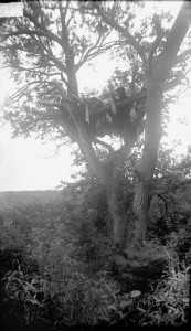 Tree burial of plains Indians, probably Dakota